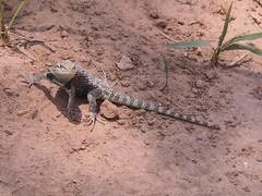 Desert Spiny Lizard, Grand Canyon