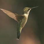132-rubythroated-hummingbir