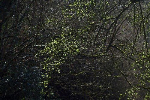 tree green leaves sparkles backlight canal spring bush riverside branches gloucestershire growth april buds backlit shrub riverbank sparks twigs f28 sparkling hawthorn stroudwater riverfrome summarit5cmf15