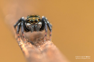 Jumping spider (Salticidae) - DSC_7631
