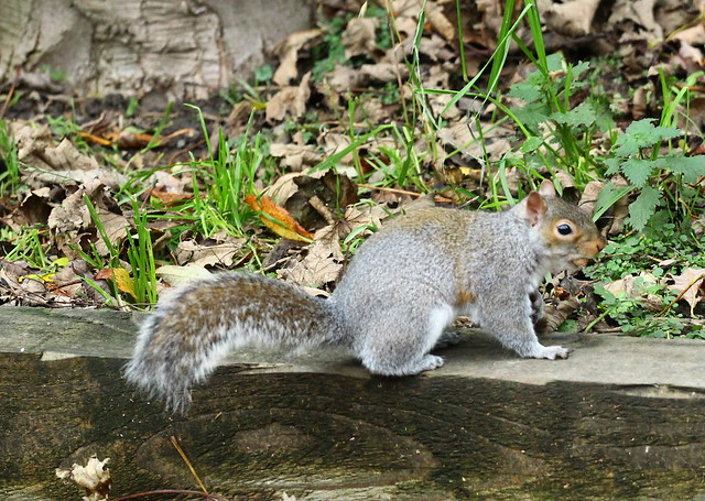 Another one of our squirrels.