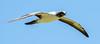 Masked Booby (Sula dactylatra) by David Cook Wildlife Photography
