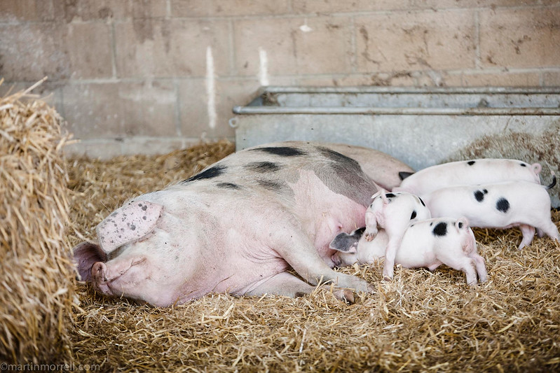 27 July 2012 - Gloucester Old Spot and her piglets at Daylesford Organic farm- Martin Morrel