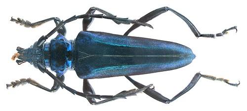 Mecosaspis severa chrysogaster (Bates, 1879) | by urjsa