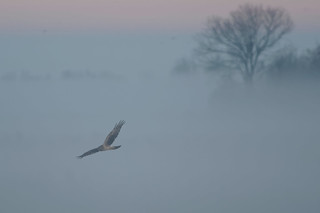 Hen Harrier (Circus cyaneus) in the fog. | by Orang J Goreng