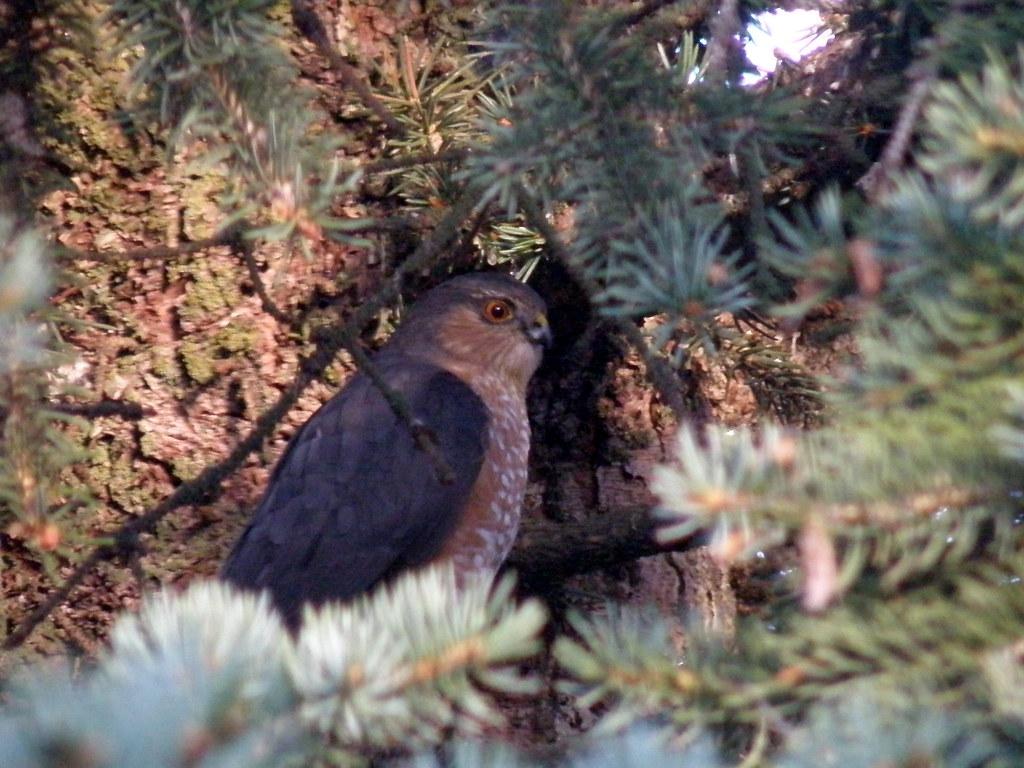 PA258818...  sharp-shinned hawk