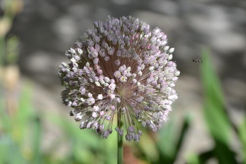 Allium polyanthum | by pamina FJ