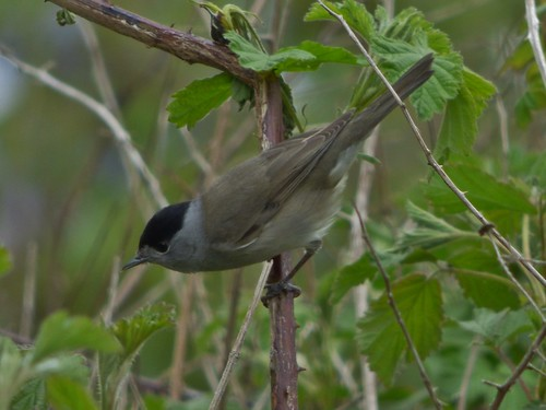 Blackcap at Brockholes Nature Reserve near Preston, Lancashire, England - April 2015 | by SaffyH