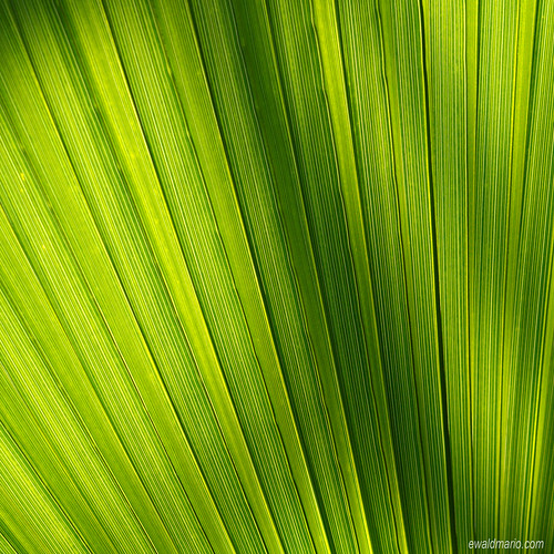 wien light green texture lines contrast leaf österreich patterns struktur structure palm diagonal glowing grün elegant lightening blatt tones leading botanischergarten botanischer contraluce at durchlicht naturefineart