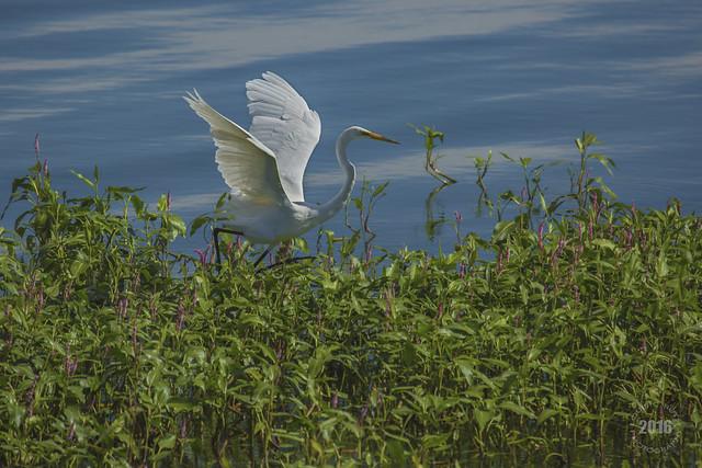 White Egret Among Lotus Water Lilies