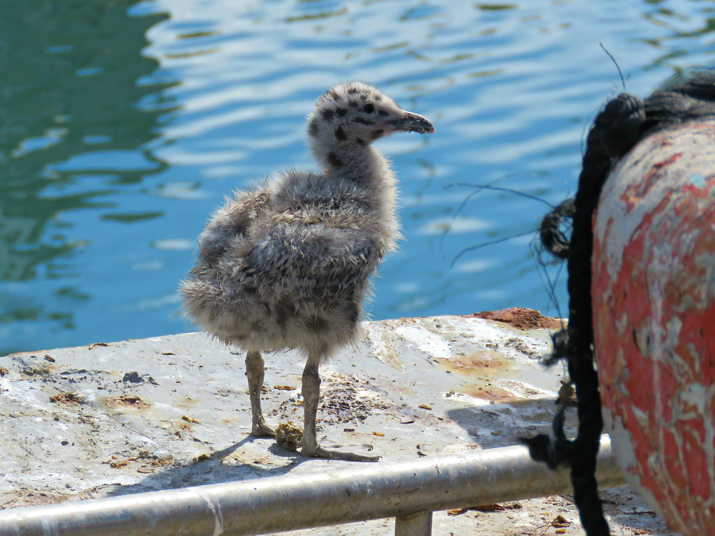 Baby Seagull - 5 days old | We saw this baby seagull and her