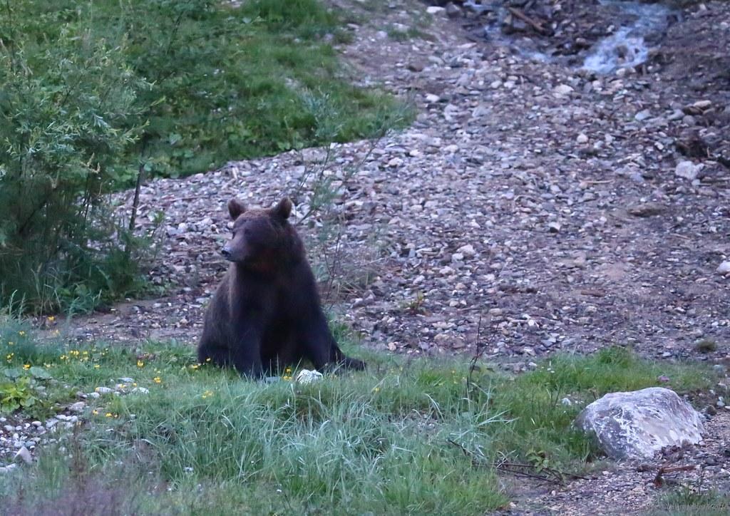 urs valea cerbului 03