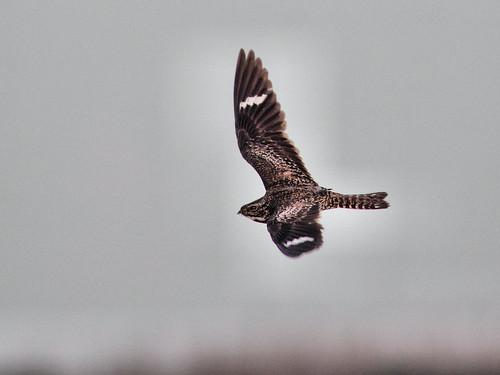 Common Nighthawk in flight HDR 20160722