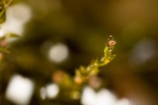 Sminthurides malmgreni | by AndyLandgraf Makrofotografie