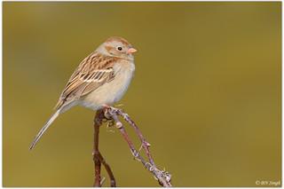 Field Sparrow | by BN Singh