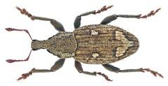 Graptus triguttatus (Fabricius, 1775) Syn.: Alophus triguttatus (Fabricius, 1775)