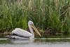 Dalmatian Pelican, Kroeskoppelikaan, Pelecanus crispus. by jwsteffelaar