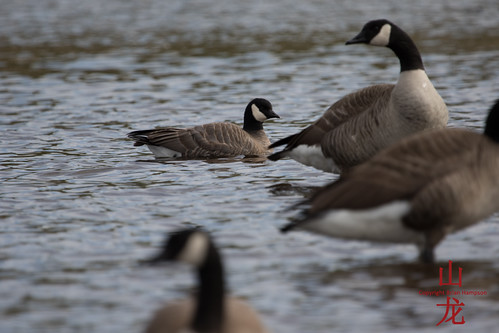 Cackling Goose (Branta hutchinsii) | by DragonSpeed