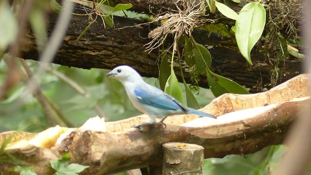Tangara évêque - Blue gray tanager -   Thraupis episcopus