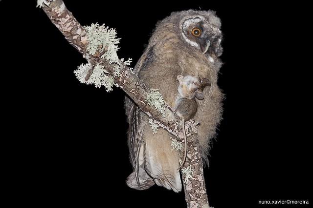Bufo-pequeno, Long-eared owl (Asio otus)