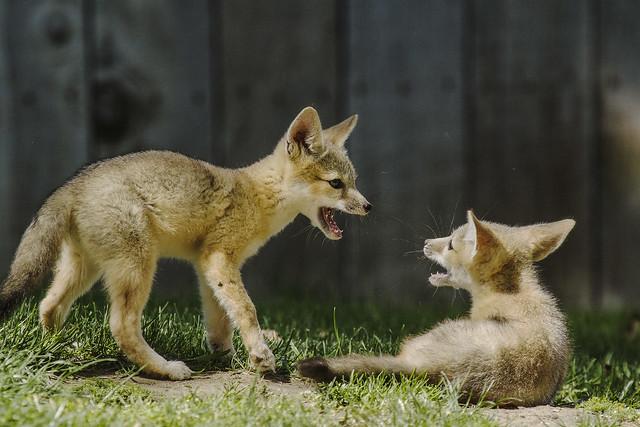 San Joaquin Kit Fox Kits Playing (Young Carnivores!)