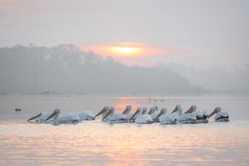 birds sunrise texas pasadena americanwhitepelican kayakphotography gseloff horsepenbayou galvestonbayestuary