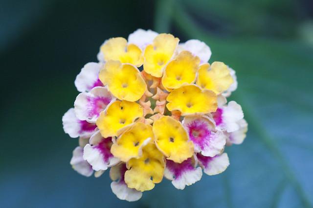 Lantana flower