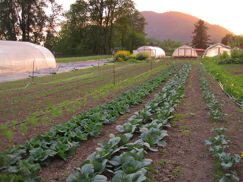 evening fennel, cabbage and broccoli plants