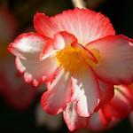 ベゴニア(シュウカイドウ 秋海棠)/Begonia grandis