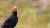 Urubu-de-cabeça-amarela (Cathartes burrovianus) - Lesser Yellow-headed Vulture by RodrigoPB