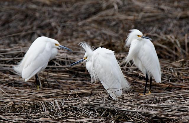 snowy egrets, scarborough marsh
