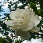 盛開梔子花。英名-Gardenia 別名-玉堂春、大花梔子、支子、黃槴。 古時稱酒杯為「卮(音同之)」 具有稜角肉質的長橢圓形果實形狀跟酒杯很相似  久了就稱之為梔子。 春雨 。很多詩人墨客對它吟詠有加,並留下了不少膾炙人口的詩句。 如王建的《雨過山村》「雨裡雞鳴一兩家  竹溪村路板橋斜  婦姑相喚浴蠶去  閒著中庭支子花」雨  使山村更加寧靜  景象更加清新  花閒人不閒  農家的繁忙又增添了一層意思。  #Gardenia #Aroma #flower #香氣 #玉堂春 #大花梔子 #支子 #黃槴 #