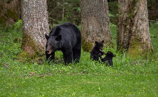 Momma bear and cubs. | by Phil Horton