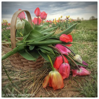 Cold Morning Tulips