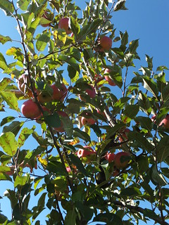 Mercier Orchard 13