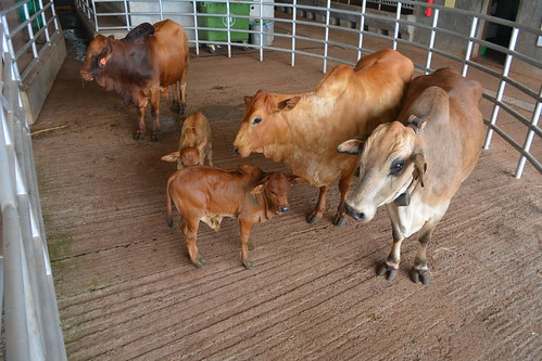 May/2015 - ILRI's healthy cloned Boran bull 'Tumaini' (means 'hope' in Swahili) with his 'wives' and offspring as of May 2016 (photo credit: ILRI).