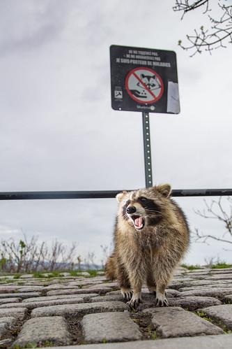 Racoon Feeding Protest