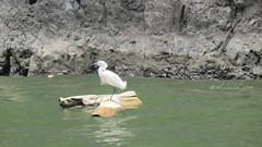 Snow Egret (Egretta thula) El Cañon del Sumidero, Chiapas