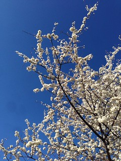 111/365 Spring sky & flowering trees | by Anetq