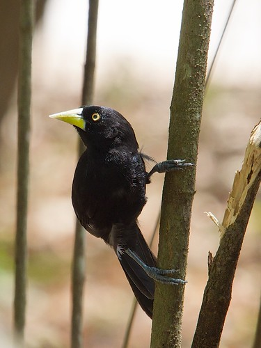 Yellow-billed Cacique / amblycercus holosericeus