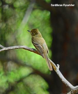 -Flycatcher-Cordilleran-Greer, AZ | by Tricolor Brian