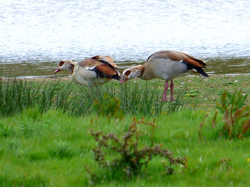 Egyptian Geese Alopochen aegyptiaca | by david cawthraw