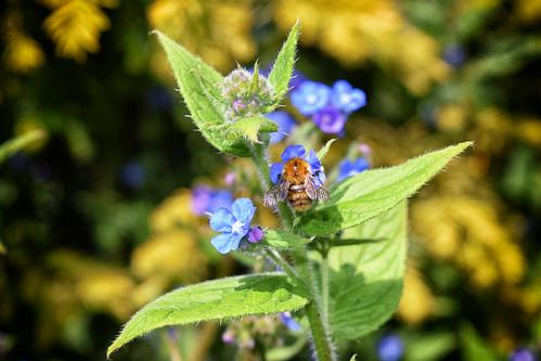 Bee on Brunnera (30/05/2016)