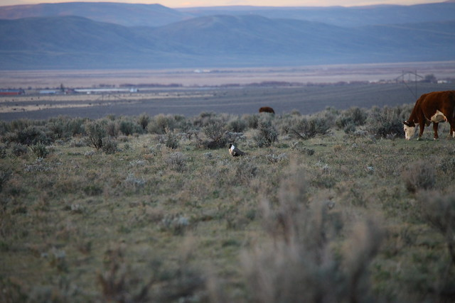 Sage grouse lek and grazing cattle