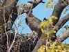 Martial Eagle by Mandara Birder