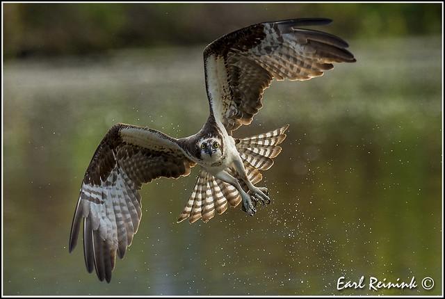 Osprey giving da eye