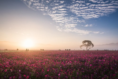 mist fog sunrise taichung 波斯菊 新社 日出 cosmosbipinnatus 霧 新社花海
