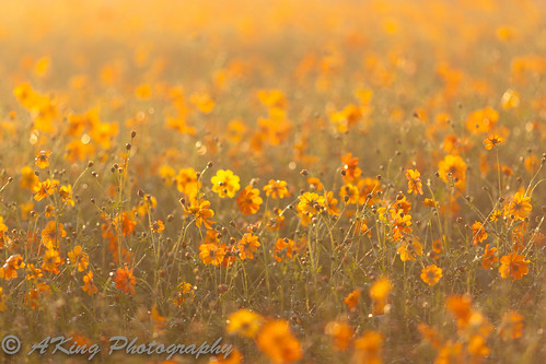 autumn mist flower nature field sunrise landscape dawn countryside scenery taiwan landmark taichung 台灣 台中 花海 新社 日出 naturescape 晨