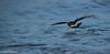 Leach's Storm-Petrel  /Klykstjärtad stormsvala (Oceanodroma leucorhoa) by Hans Olofsson