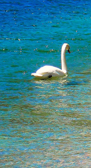 Lecco - Mute Swan on Blue Waters of Lake Como Italy